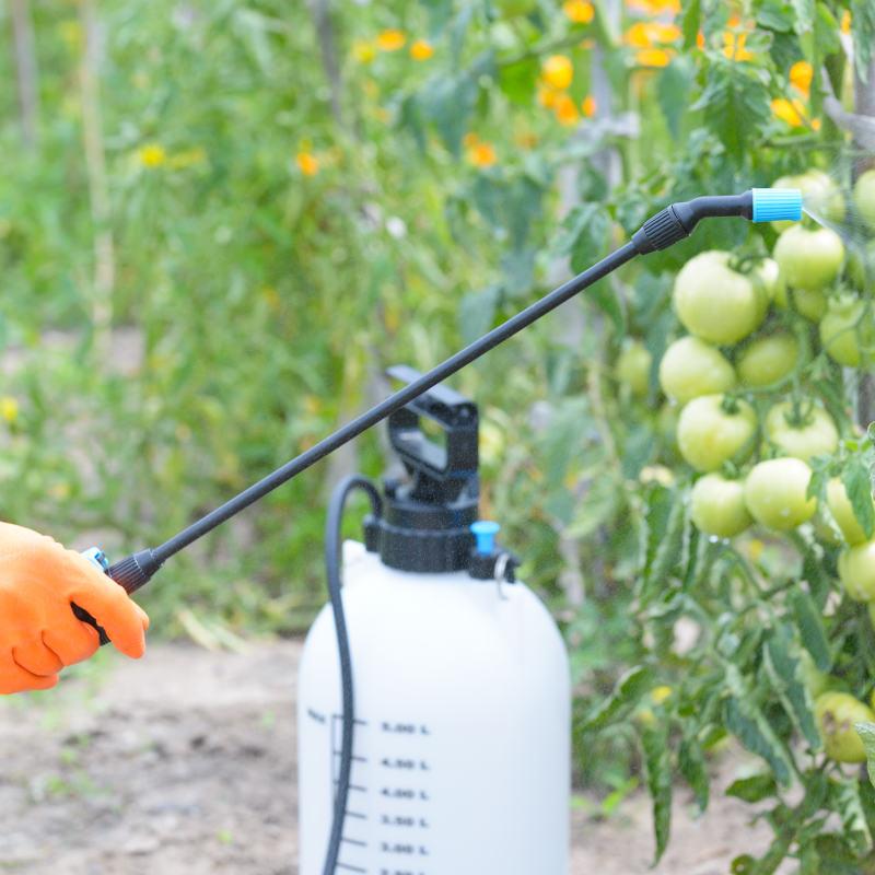Tomaten werden mit Pflanzenschutzmitteln besprüht