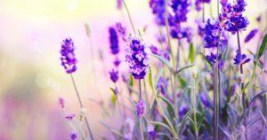 Ein Lavendelstrauch ist abgebildet